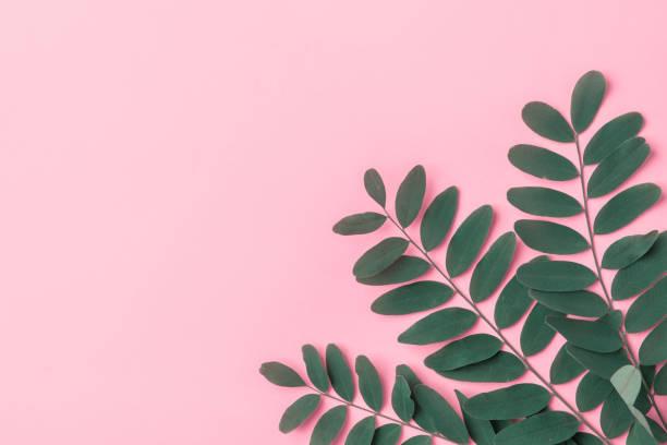 Grüner Baum Äste auf rosa Hintergrund. Hautpflege Bio-Kosmetik-Konzept. Styliertes Bild für Blog-Produkt Branding. Thema urbane Dschungel – Foto