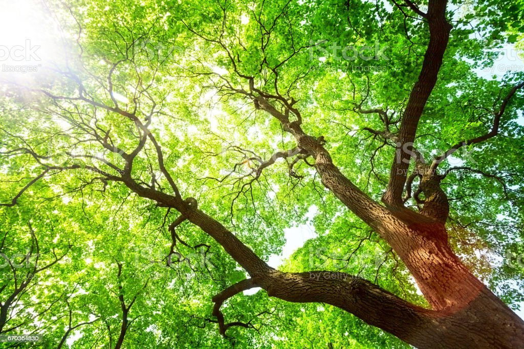 Green tree canopy in spring day stock photo