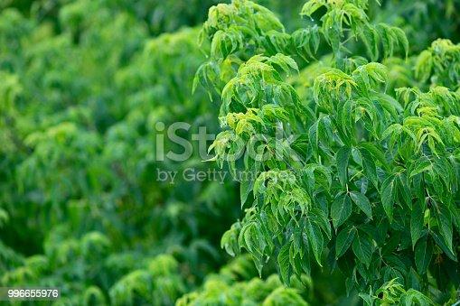 istock Green tree foliage after the rain 996655976
