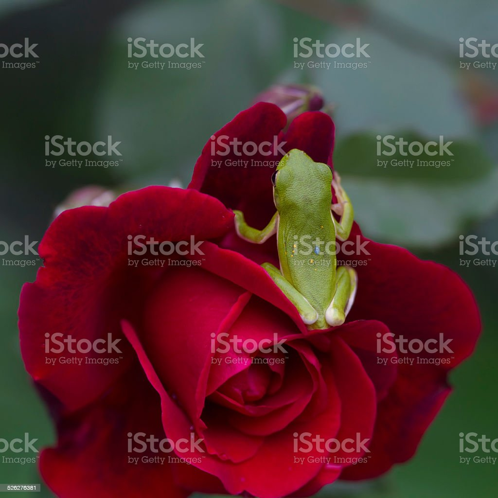 Green Tree Frog and Red Roses stock photo