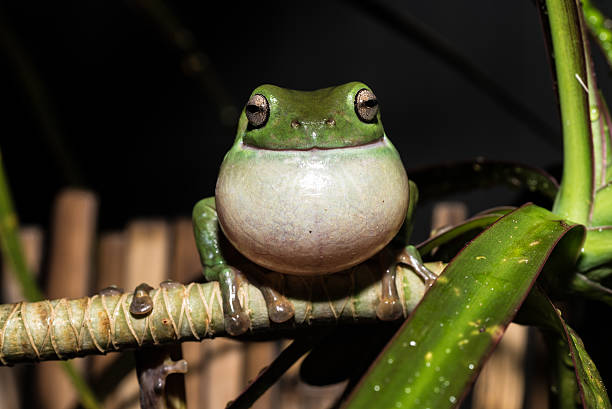 green tree frog full croak - croak stock pictures, royalty-free photos & images