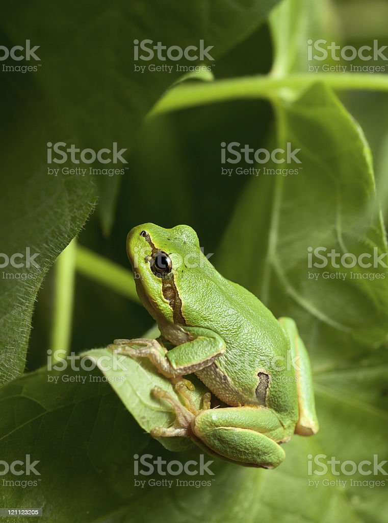 Green tree frog hiding in foliage stock photo