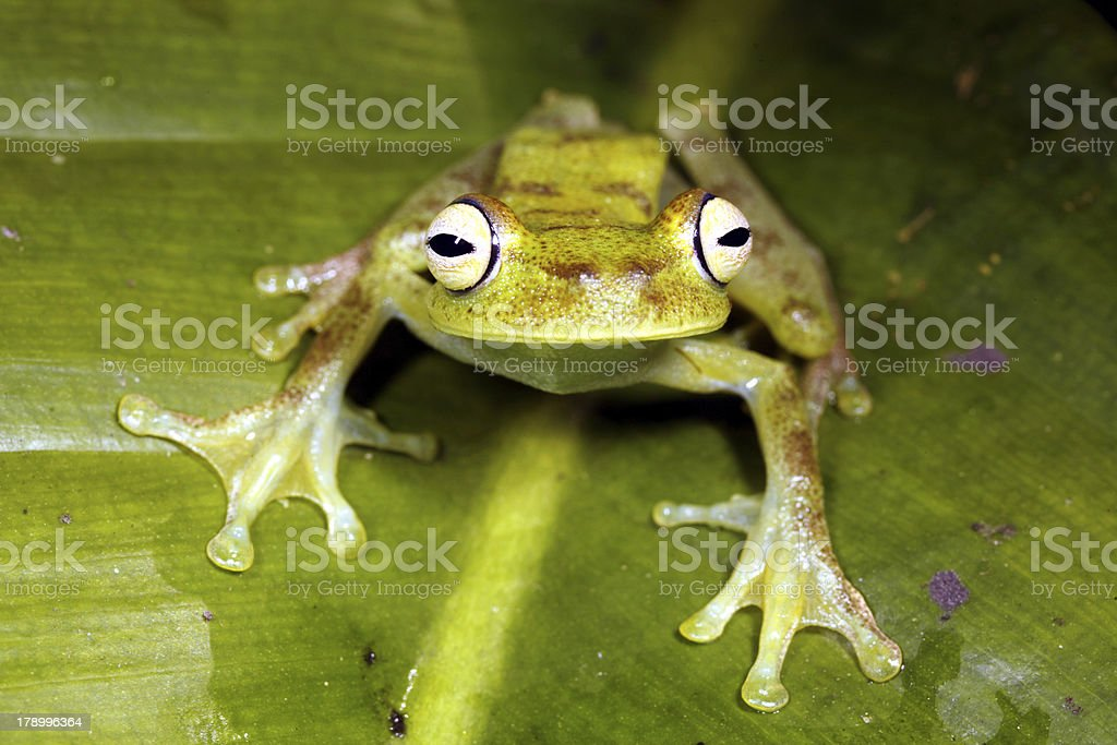 green tree frog Hypsiboas pellucens stock photo