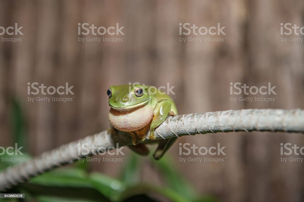 Green Tree Frog in the wet season stock photo