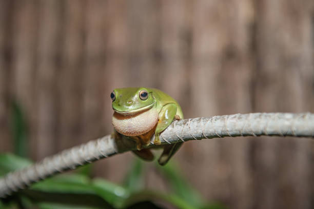 green tree frog in the wet season - croak stock pictures, royalty-free photos & images