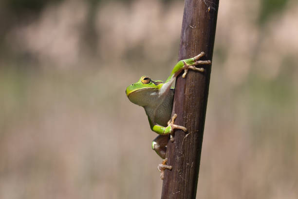 green tree frog looking on cane, blur background - croak stock pictures, royalty-free photos & images