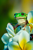 Green tree frog perched atop of a yellow and white tropical flower