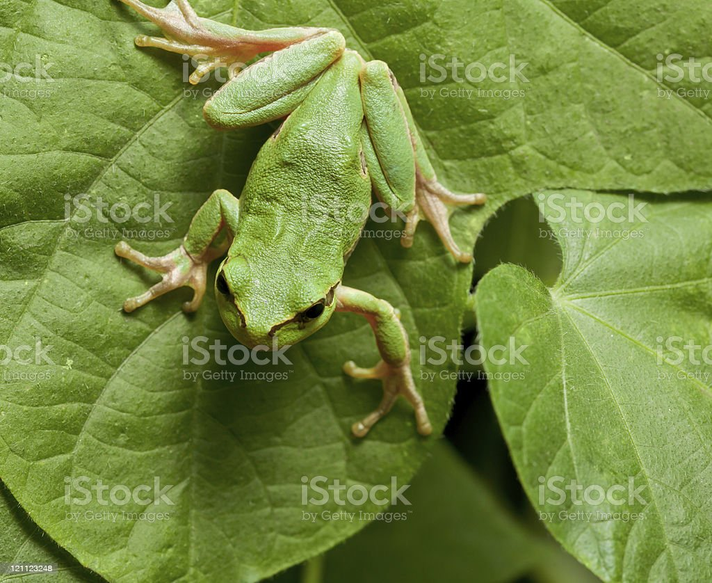 Green tree frog on leaves stock photo