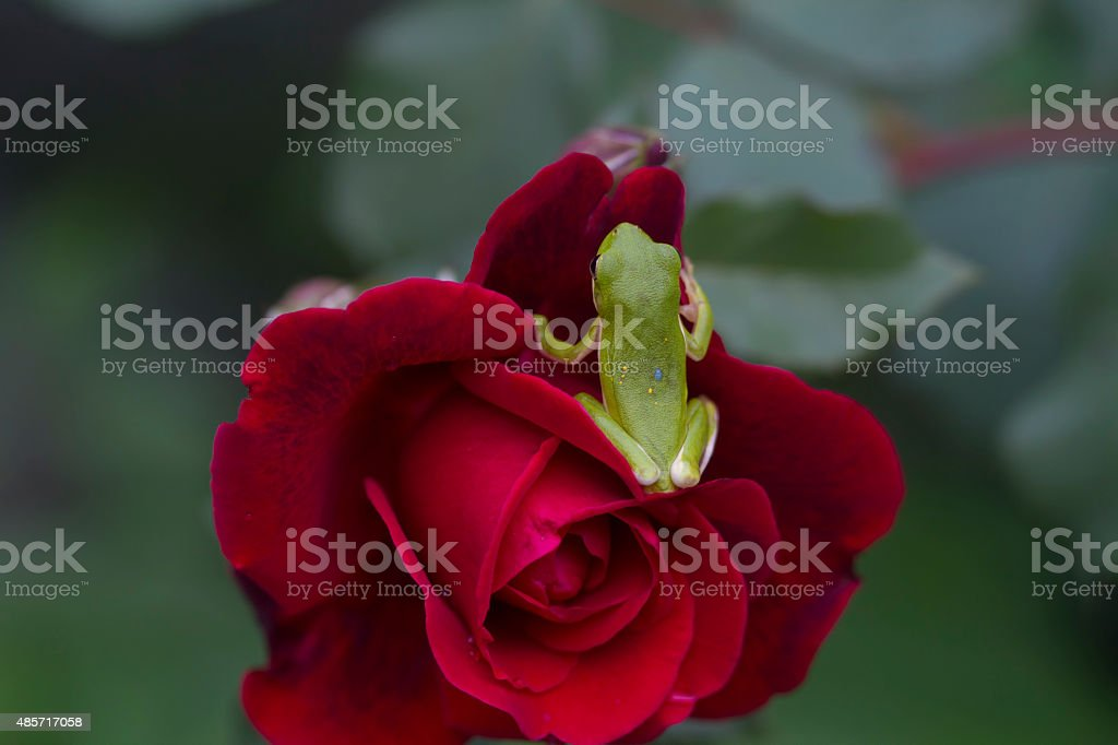 Green Tree Frog on Red Rose stock photo
