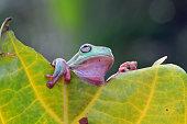 Australian tree frog on leaves
