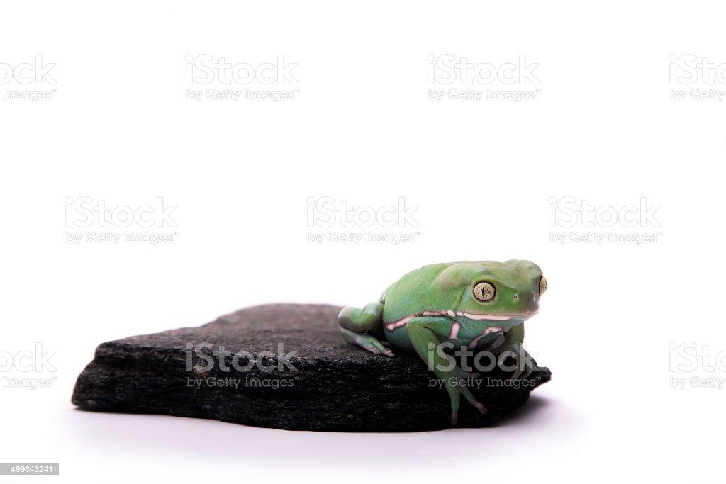 Green Tree Frog stock photo