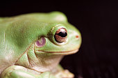 Side profile of a Green Tree Frog, on Black background