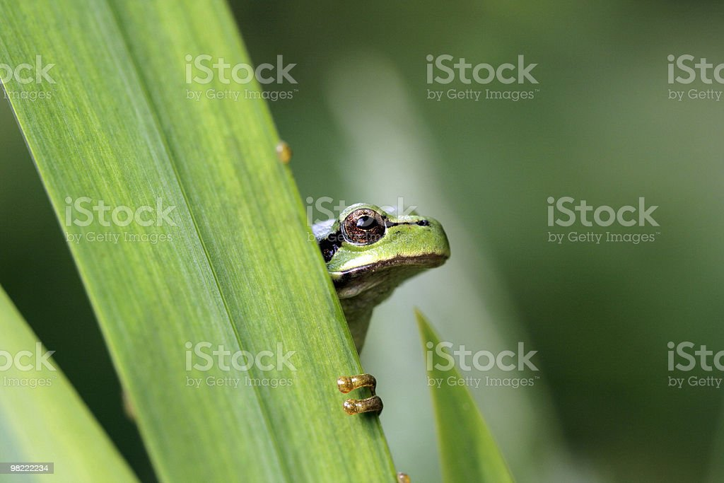 Green tree frog royalty-free stock photo