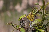 European Green Tree Frog resting on branch in pond, blur background, Isola della Cona, Monfalcone, Italy, amphibian, frog, full frame, copy space