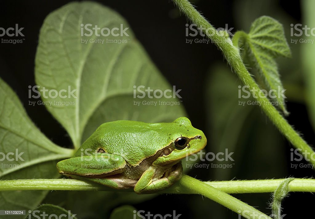 Green tree frog sitting on leaf stock photo
