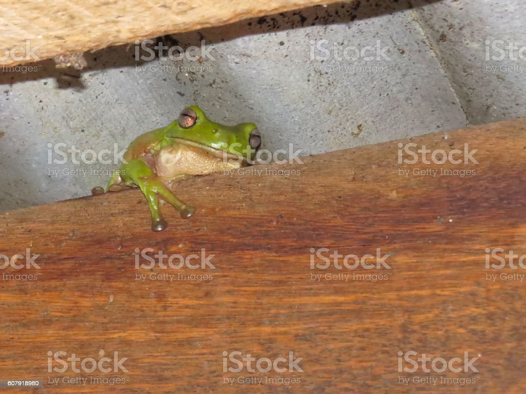 Green tree frog under metal roof stock photo