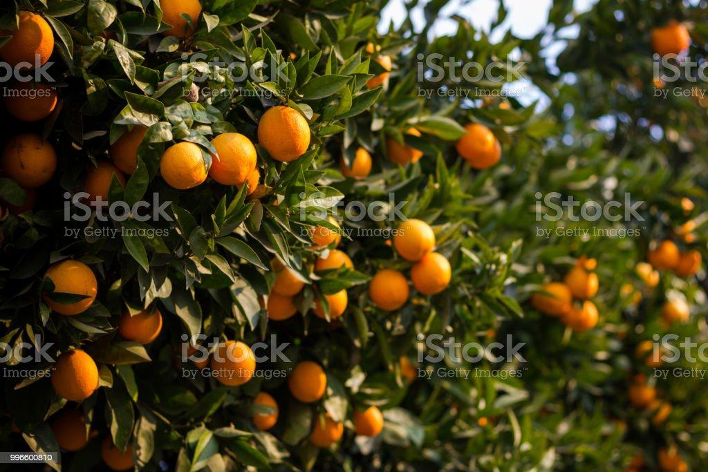Árbol verde lleno de naranjas en día soleado - foto de stock