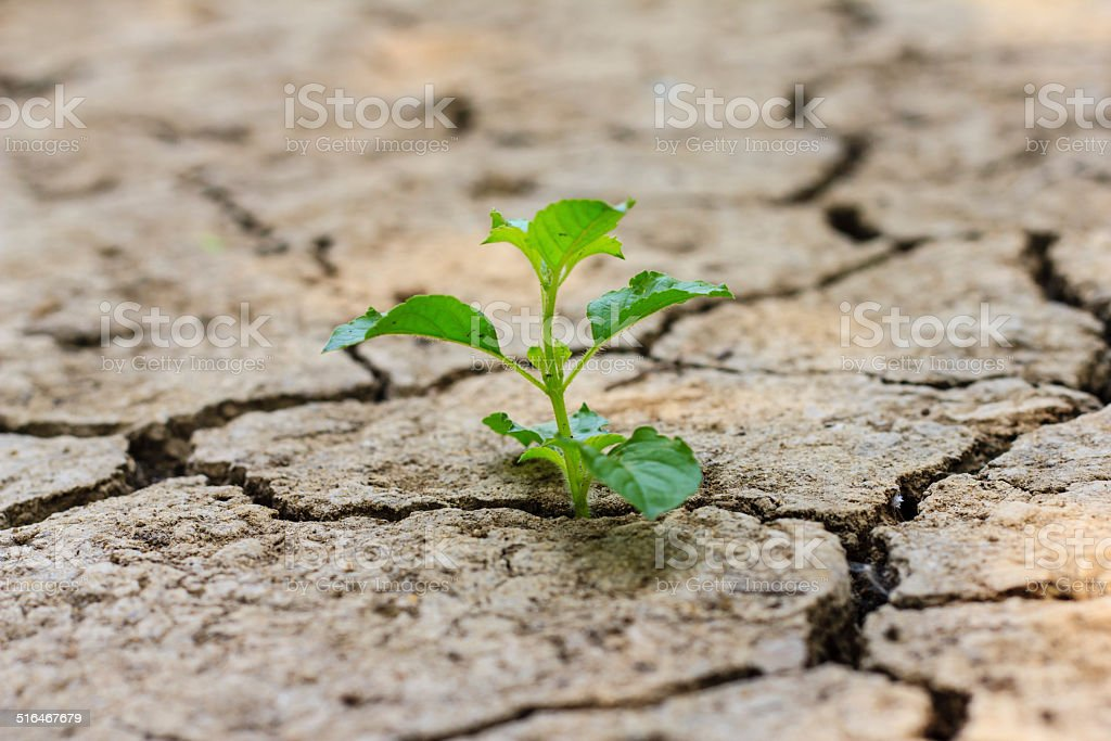 green tree growing through dry cracked soil stock photo