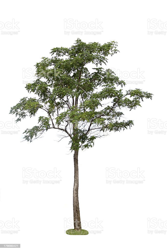 Green Tree in the forest. royalty-free stock photo
