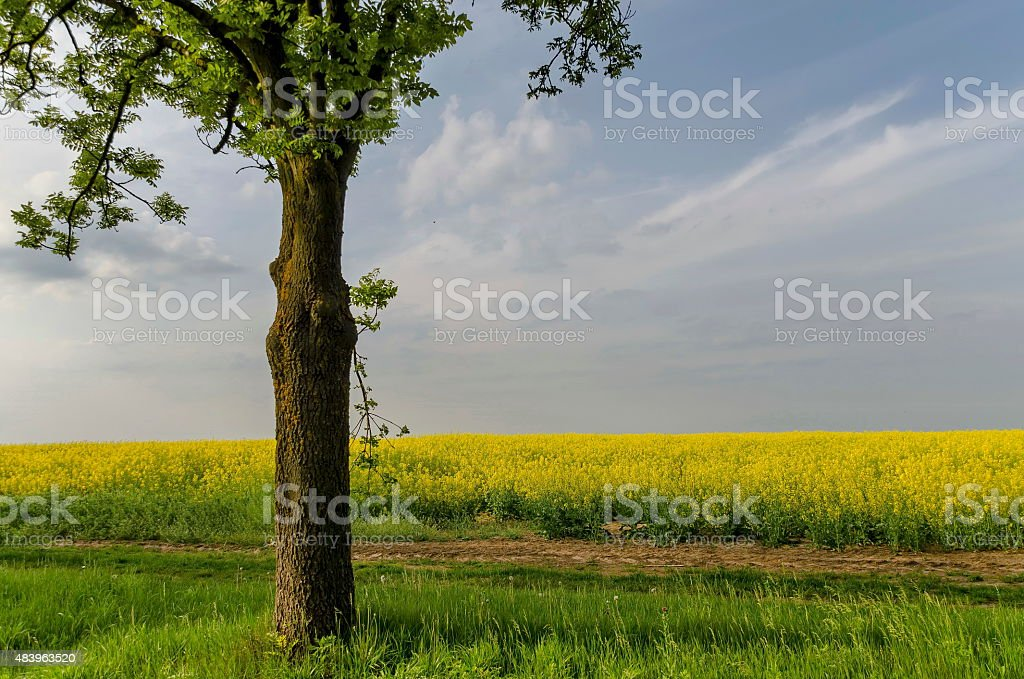 Green tree in the yellow colza field with blue sky stock photo