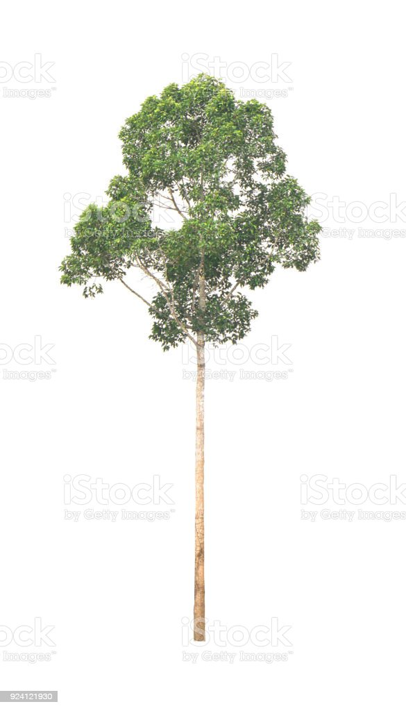 Green Tree isolated at on white background of file with Clipping Path stock photo