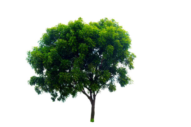 green tree isolated on white background - cypress tree stock photos and pictures