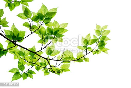 istock Green tree leaves and branches isolated on white background. 1021155310