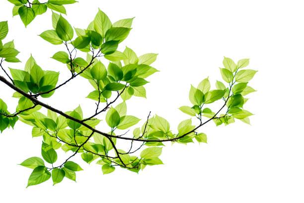 groene boom bladeren en takken geïsoleerd op een witte achtergrond. - fresh start yellow stockfoto's en -beelden