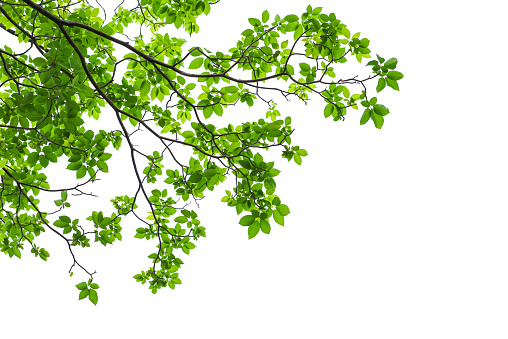 Green tree leaves and branches isolated on white background