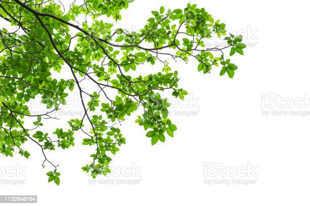 Photo of Green tree leaves and branches isolated on white background