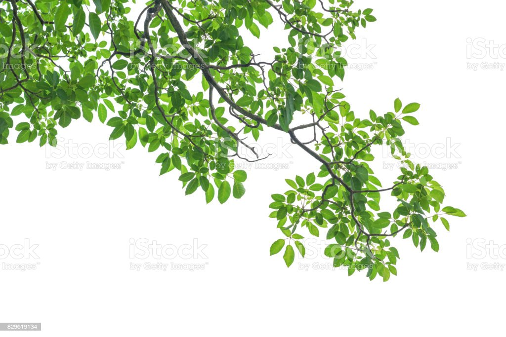 Green Tree Leaves And Branches Isolated On White Background Stock Photo Download Image Now Istock