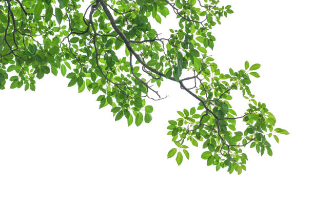 green tree leaves and branches isolated on white background - trees stock photos and pictures