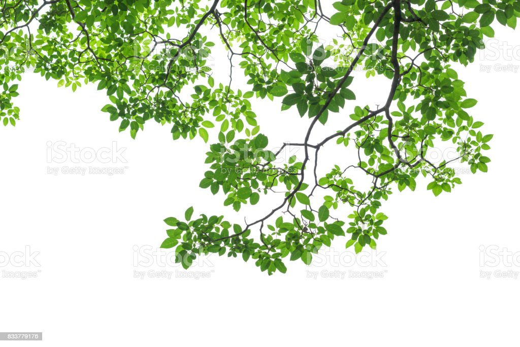 Green tree leaves and branches isolated on white background stock photo