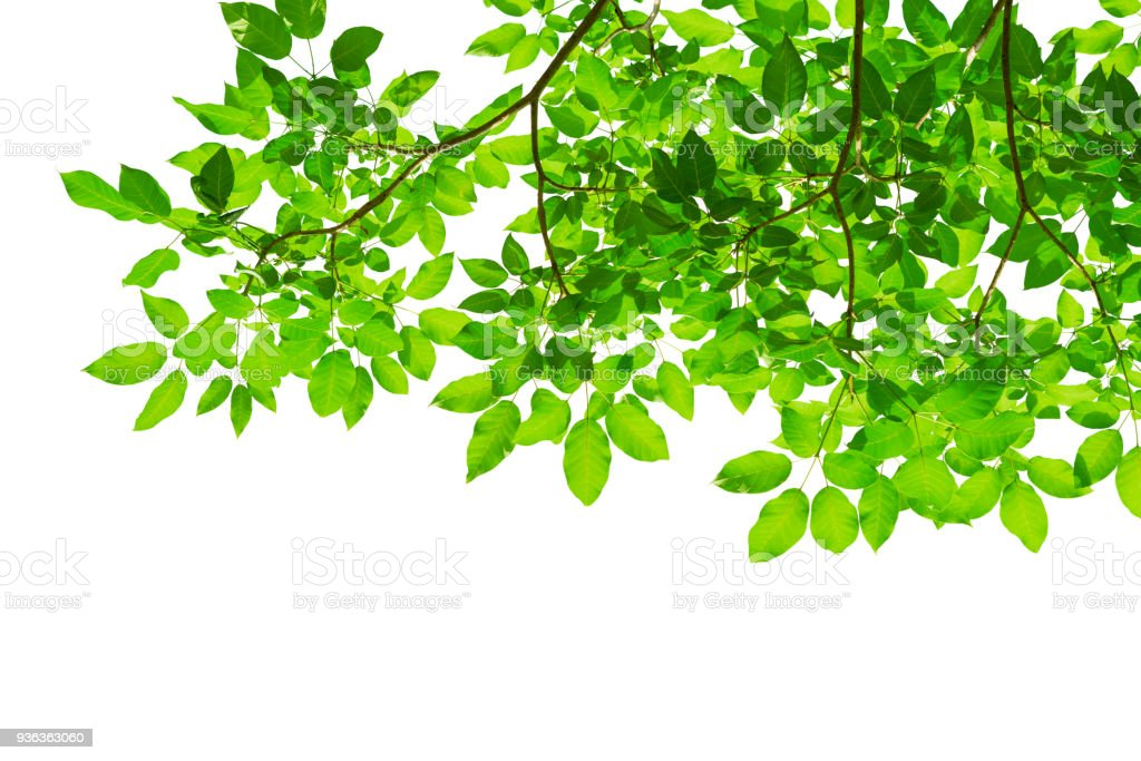 Green Tree Leaves And Branches Isolated On White