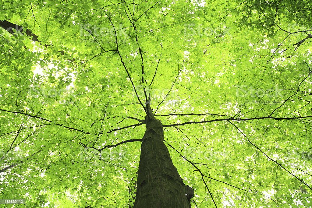 Green Tree - looking up royalty-free stock photo