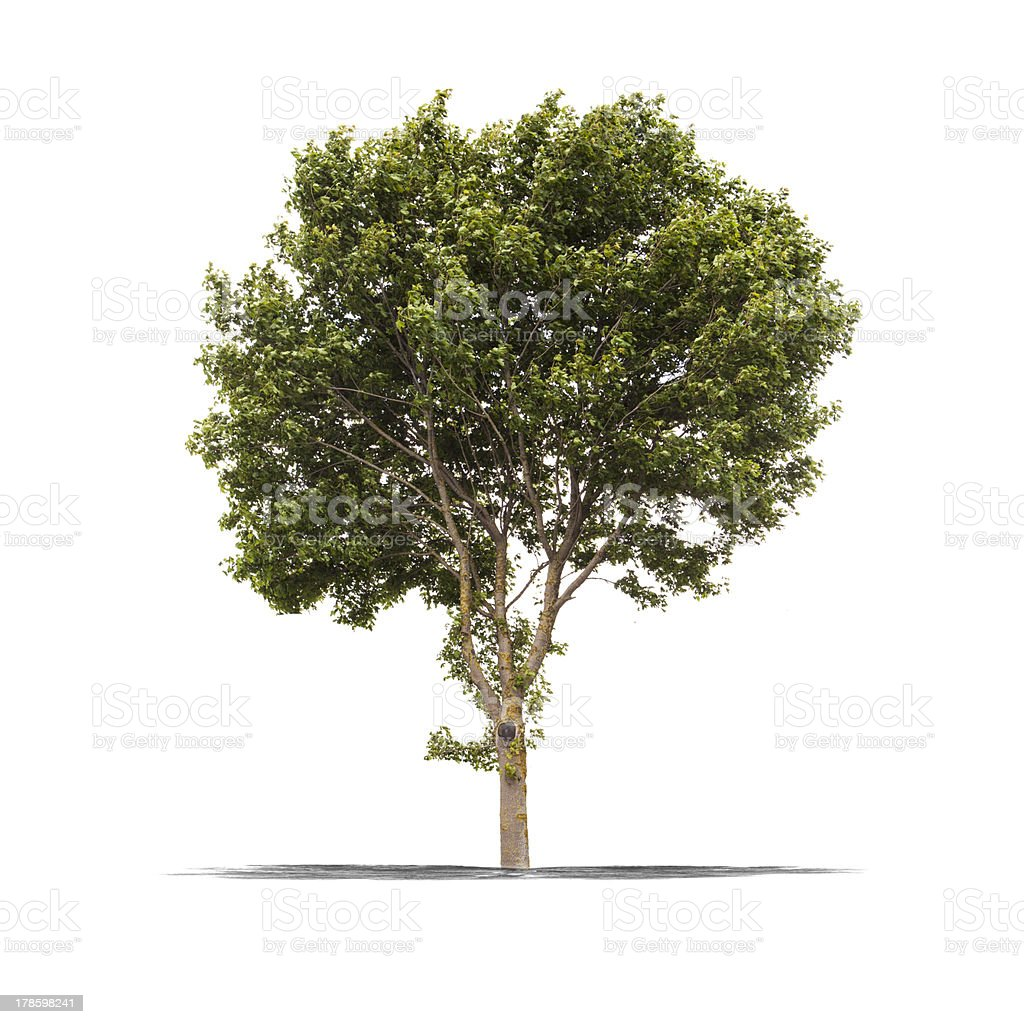 Green tree on a white background royalty-free stock photo