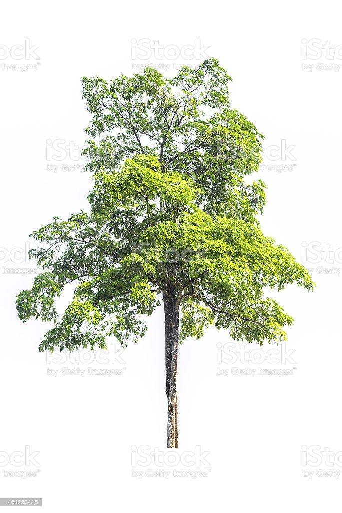 Green tree on white background royalty-free stock photo