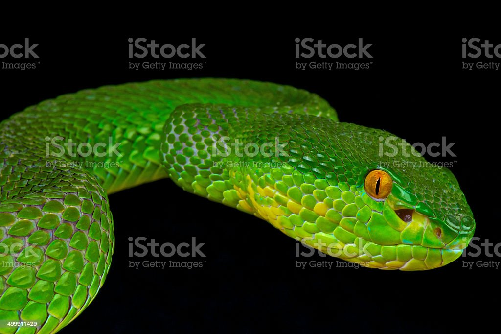 Green tree pit viper / Trimeresurus albolabris stock photo