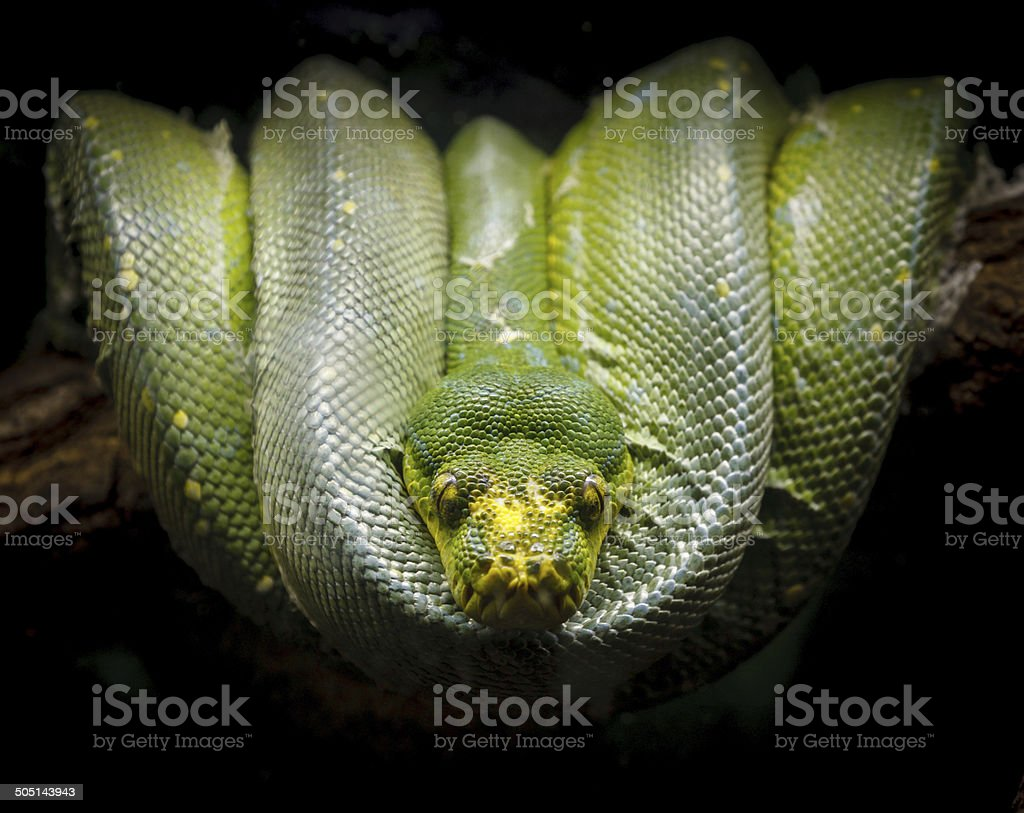 Green tree python coiled on a branch. Morelia viridis stock photo