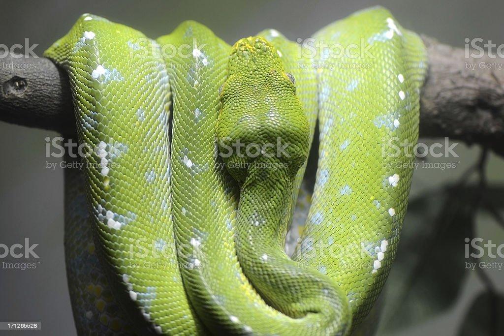Green Tree Python  Danger Viper Snake stock photo