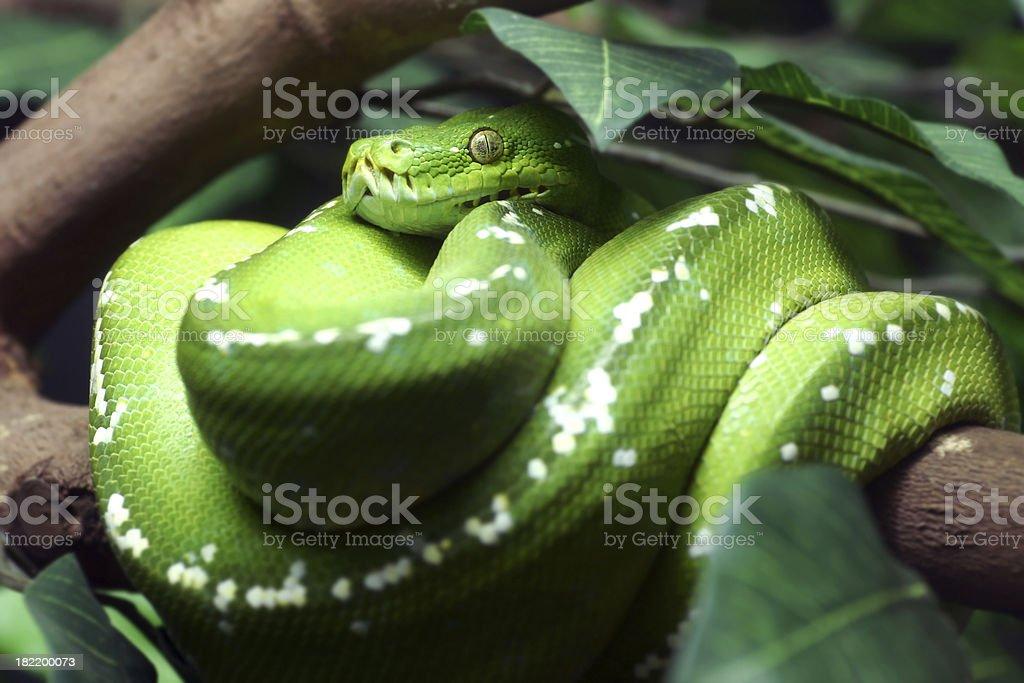 Green Tree Python  Danger Viper Snake royalty-free stock photo