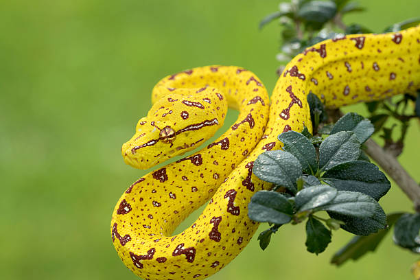 Green Tree Python (Juvenile Yellow Phase) Hunting in Rainforest Tree stock photo