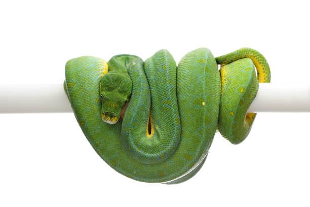 python vert arbre isolé sur fond blanc - animaux familiers exotiques photos et images de collection