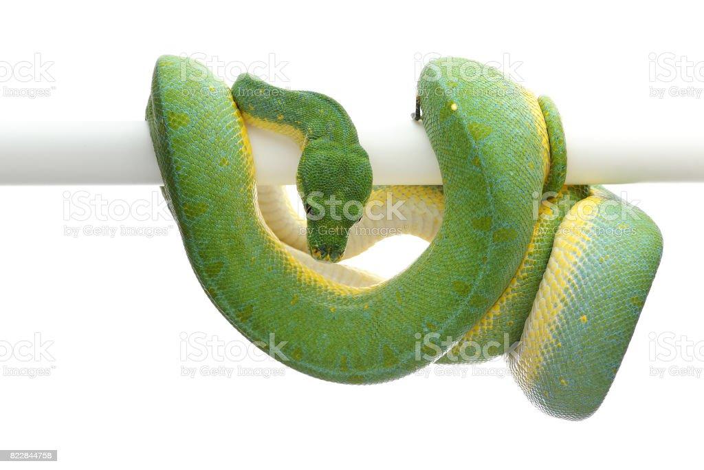 Green tree python isolated on white background stock photo