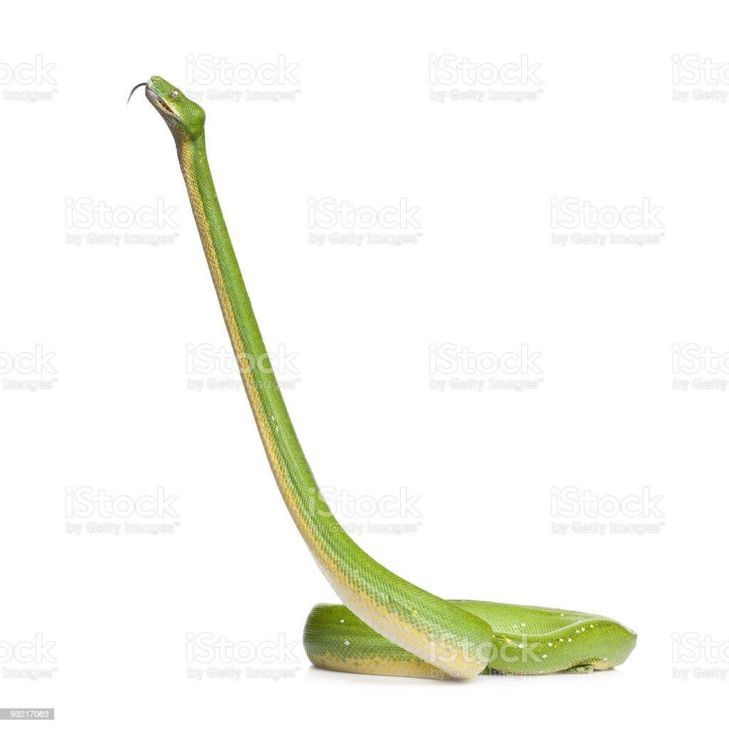 green tree python - Morelia viridis (5 years old) stock photo