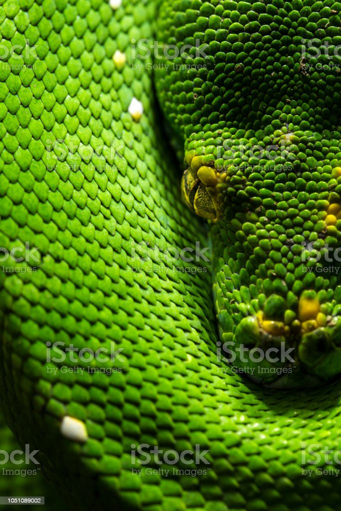 Green Tree Python On Tree Close Up Stock Photo - Download