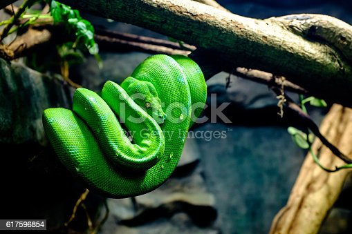 Morelia viridis, commonly known as the green tree python, is a species of python found in New Guinea, islands in Indonesia, and Cape York Peninsula in Australia