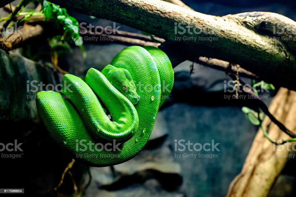 python vert - Photo