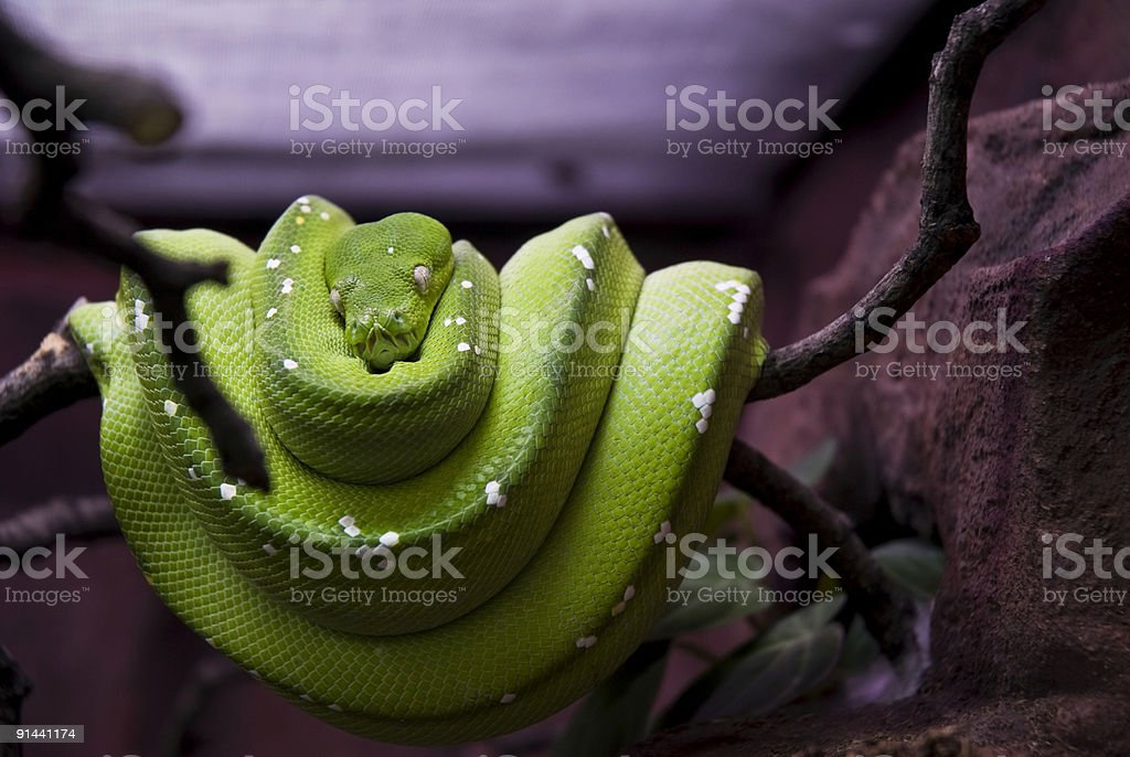 green tree python royalty-free stock photo