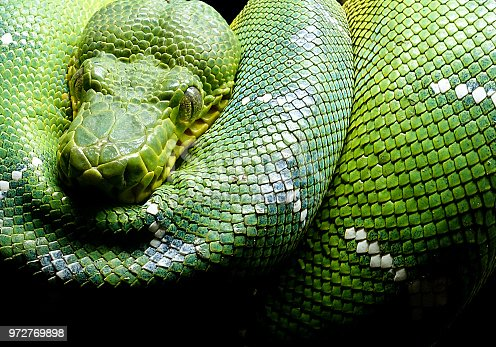 A green tree python taking a little snooze